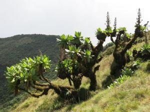 Vegetation around Lake Bisoke